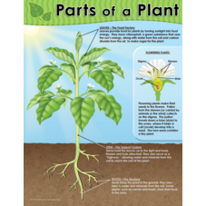 Parts of a Plant Chart