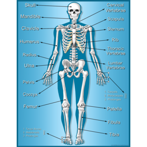TCR7632 Skeleton Chart Image
