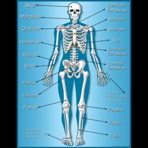 TCR7632 Skeleton Chart Image
