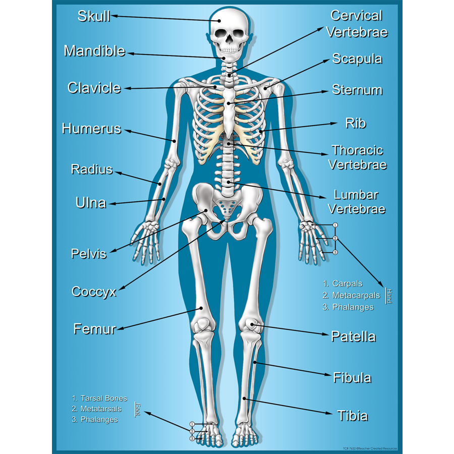 Skeleton Chart Bones Diagram Without Labels With Free Body Unmasa Dalha Tcr7632 Teacher Created Resources