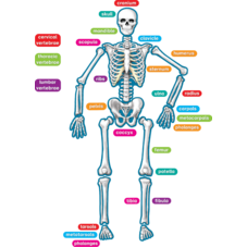 Human Skeleton Magnetic Accents