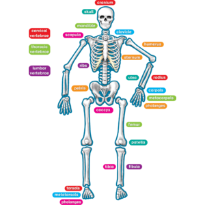 TCR77241 Human Skeleton Magnetic Accents Image