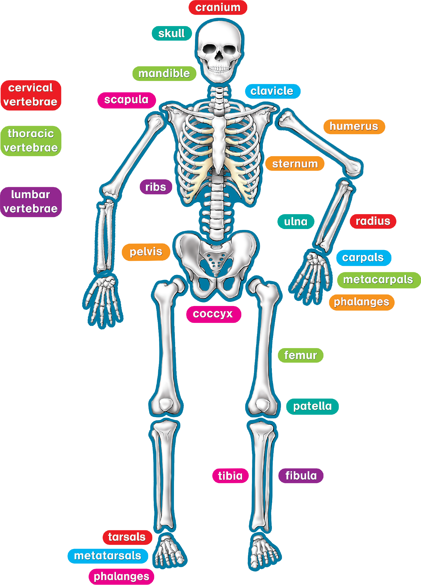 Human Skeleton Magnetic Accents - TCR77241 | Teacher Created Resources